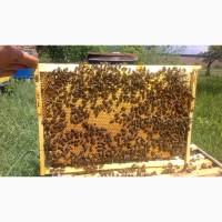 Продам Пчелопакет Українська степова порода Бдж Бдолопакети Apis mellifra acervorum Scor