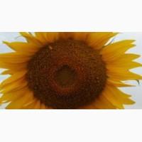 ПРОДАМ насіння соняшника від оригінатора