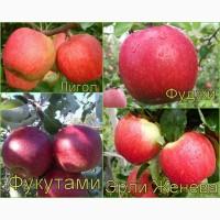 Яблони многосортовые (саженцы)