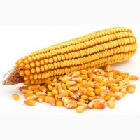 Підприємство закуповує кукурудзу