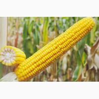 Семена кукурузы Кремень 200, ФАО 210