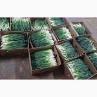 Продам зеленый лук оптом