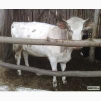 Продам корову (нетеля)
