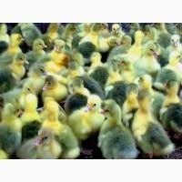 Продам яйца гусей мамутов для инкубации