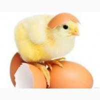 Інкубаційне Яйце Несучки Леггорна