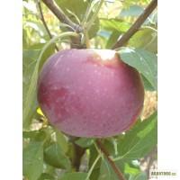 Саженцы плодовых деревьев из частного питомника, Херсонская обл