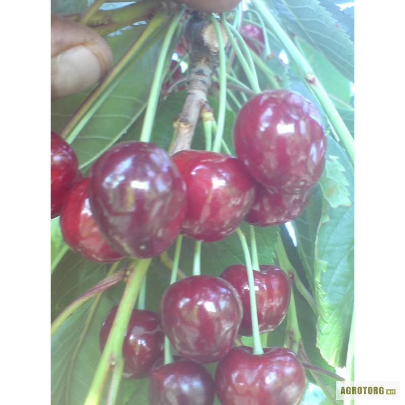 Саженцы саженцы плодовых деревьев из