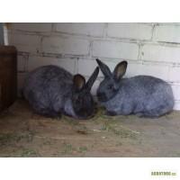 Продам кроликов породы Серебристый