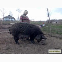 Продам свиноматку проды мангал
