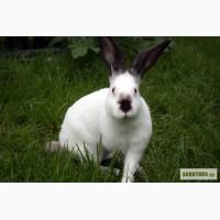 Продам кроликов Калифорнийско,Новозеландс кой породы и гибрид Паннон
