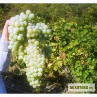 Продаём виноград столовых сортов Мускат-Италия, Молдова. Вся продукция с Южного Берега Кры