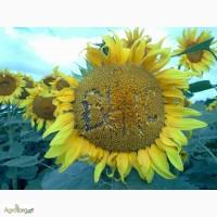 Насіння соняшника Армагеддон стійкого до Євро-Лайтнингу
