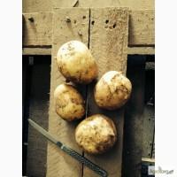 Продовольственный и семенной картофель оптом от 20 тн от производителя