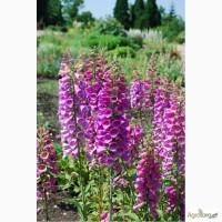 Наперстянка пурпурная, семена