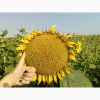 Семена подсолнуха Матадор(под Гранстар) ВНИС