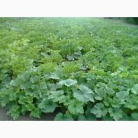 Продам насіння кабачка