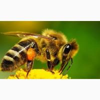 Пчеломатки Украинская степная порода 2017г с доставкой по Украине