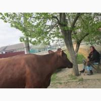 Продам корову красную степную, недорого