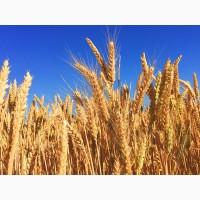 Семена озимой канадской пшеницы Манитоба эл, 1р