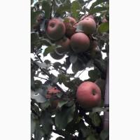 Продам яблоки сорта Фуджи Кику