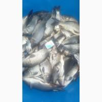 Зарибок коропа - 170 грам