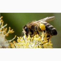 Продам пчел (руты) - Харьков