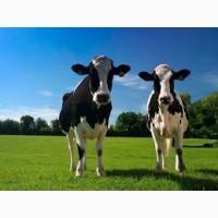 Плем хозяйство продает Нетель на молоко