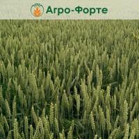 Озима Пшениця БОНАНЗА (Еліта)