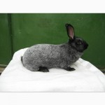 Кролики Серебристый, Белый панон, Калифорнийская