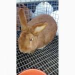 Продам кроликов Новозеландский красный