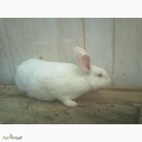 Продам кроликов Белый паннон