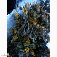 Продам висушений цвіт топінамбура (віники)