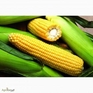 Продажа урожайных гибридов кукурузы семена ДК315, Оржица, Гран 5, Амарок, Любава, ДКС3511