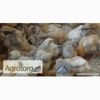 Продам суточных и подрощенных цыплят мясо-яичных Мастер грей, Фокси чик, голошейка