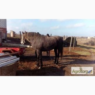 Продаю коня темна серой масти 3 года