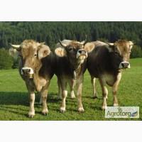 Ферма Наш Край купит телят и дойных коров на содержание