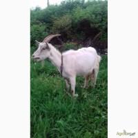 Продаю козу дойную в Днепродзержинске