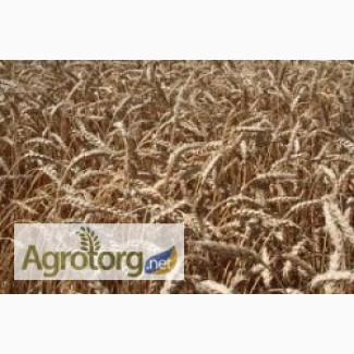 Продам Семена озимой пшеницы Богдана (Елита)