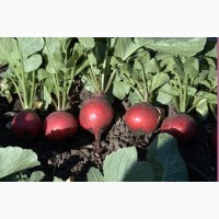 Продам высококачественные семена редиса