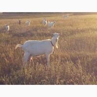 Продам Зааненских коз. И козлов тоже
