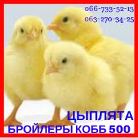 Цыплята суточные бройлера КОББ 500