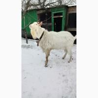 Породам зааненского козла