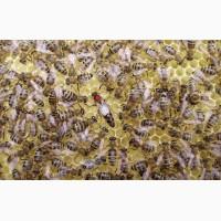 Пчеломатки карпатской породы из Закарпатья, Мукачево