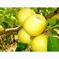 Яблоки Голден Крупный ОПТ