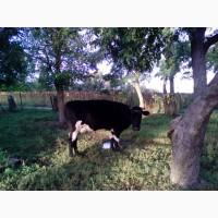 Породам корову на молоко