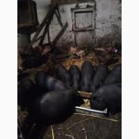 Продам поросят середньоазіатська веслобрюха свиня травоїдна вагою до 100кг
