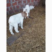 Продам Бурські кози