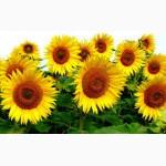 Продам семена подсолнечника, кукурузы, рапса