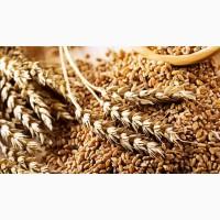 Очистка зерна – рапс, пшеница, ячмень, подсолнечник, кукуруза