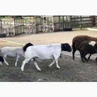 Продам или обменяю барана породы Дорпер